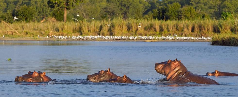 Hippos dans l'eau au Mvuu camp