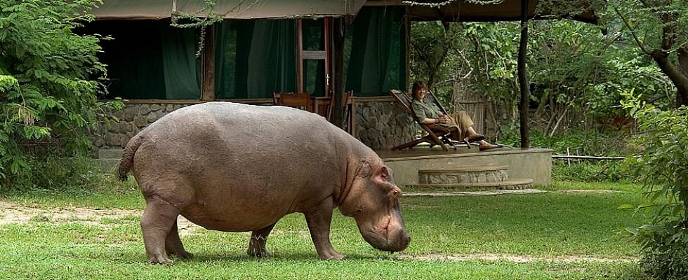 Hippo devant le Mvuu camp