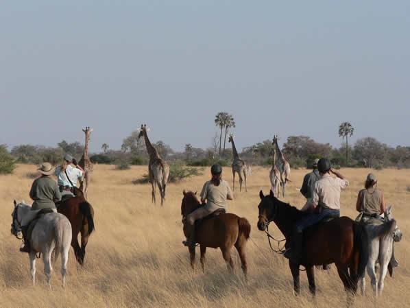 Safari à cheval au Botswana - cheval devant girafes