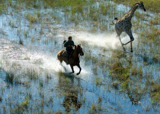 Safari à cheval au Botswana - galop avec girafe