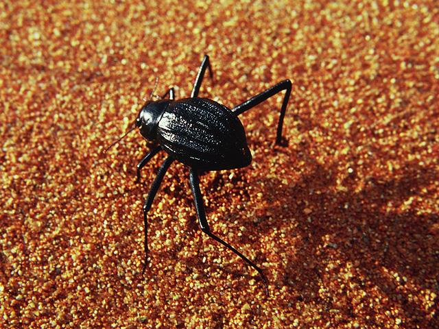Trek dans le désert namibien - scarabé