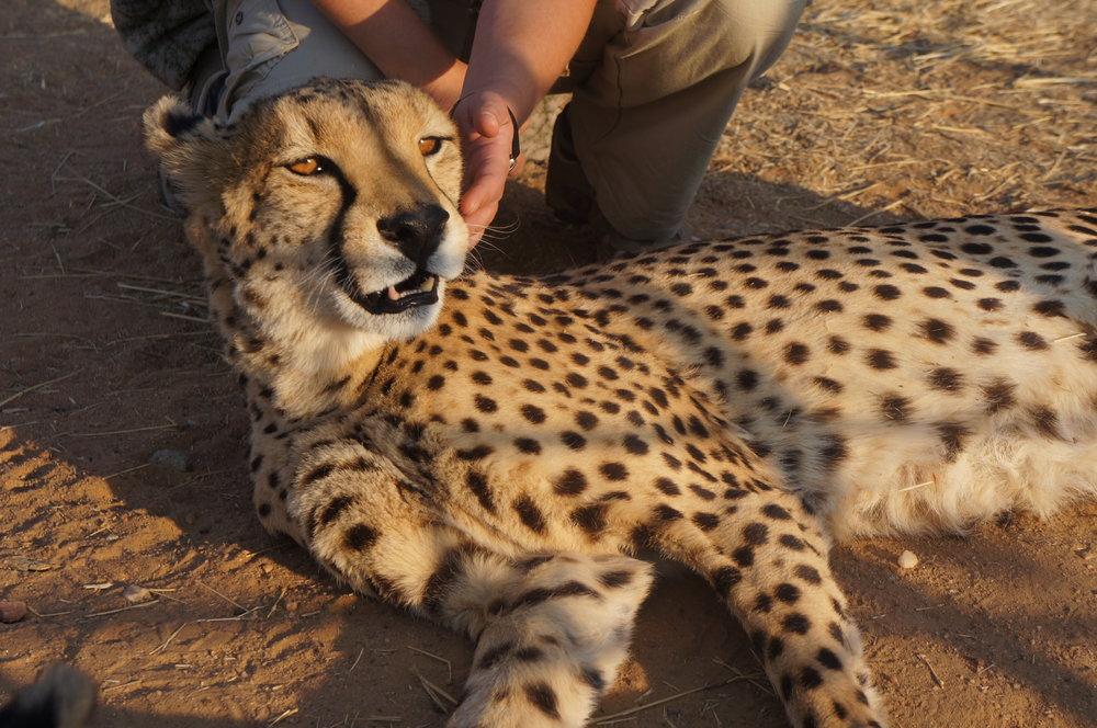 Caresser un guépard