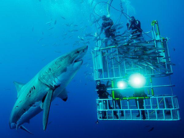 baleine et grand requin blanc - plongée cage requin blanc