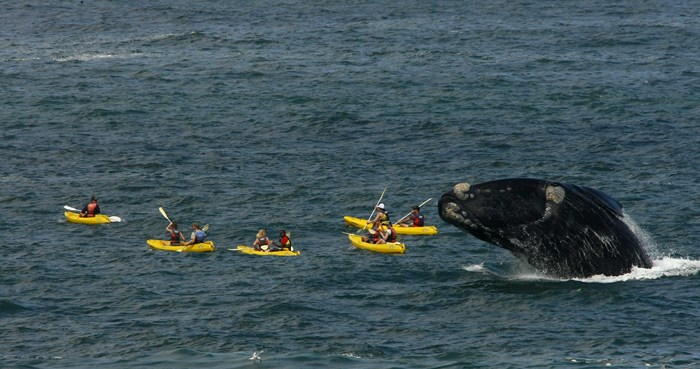 baleine et grand requin blanc - vue baleine en kayac