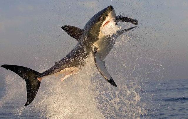 baleine et grand requin blanc - requin chassant