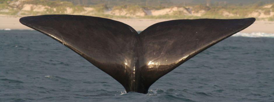 baleine et grand requin blanc - baleine