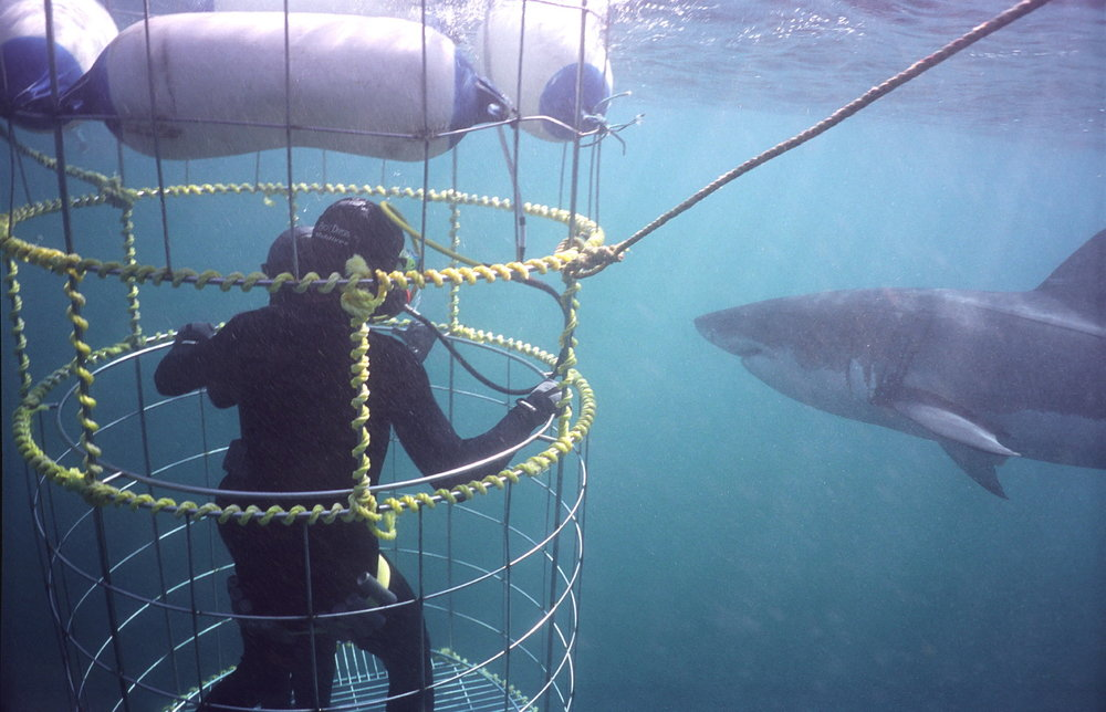 baleine et grand requin blanc - plongée en cage