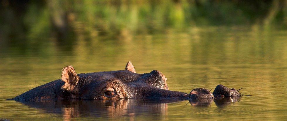 Safari à pied à Ruaha - hippo