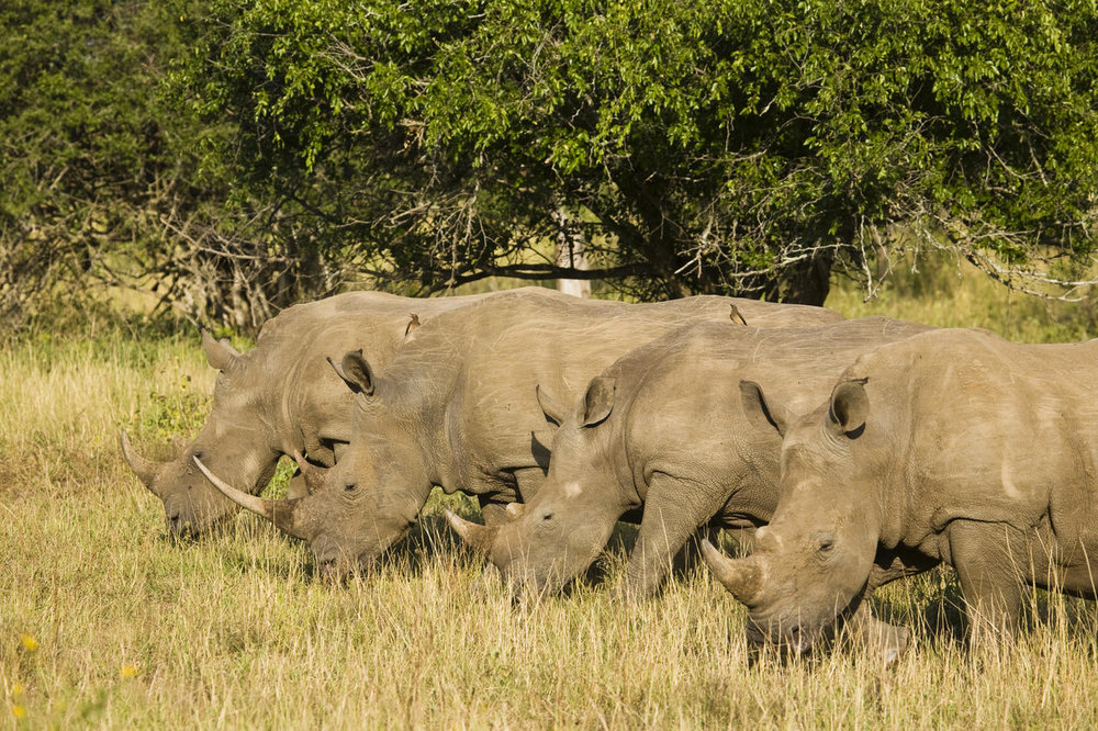 Rhinos au Rhino Ridge Safari lodge