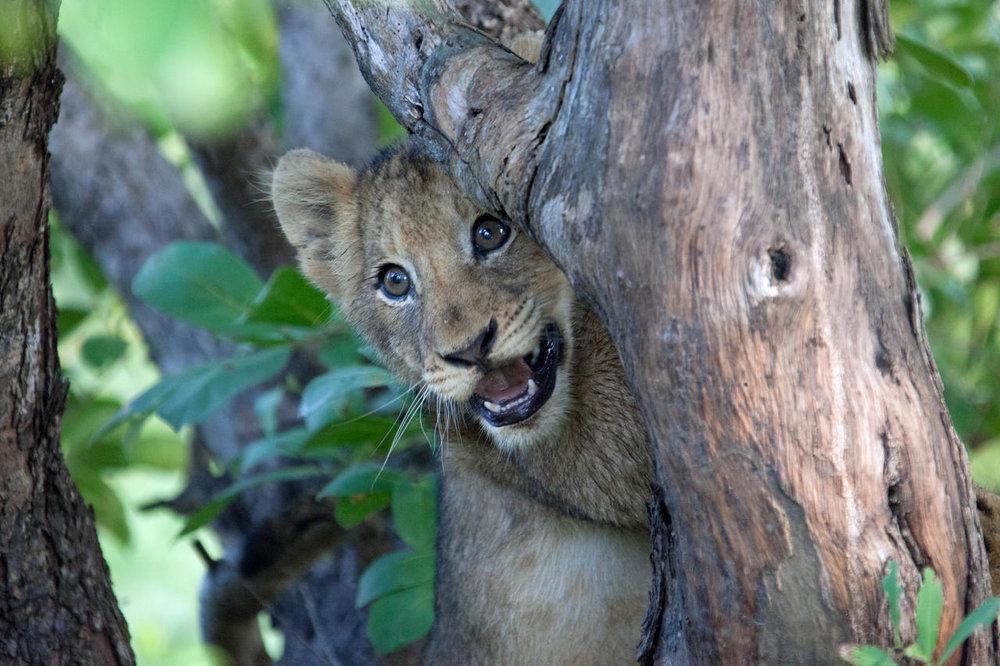 Bébé lion au Rhino Ridge Safari lodge