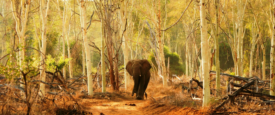Eléphant au Pafuri camp