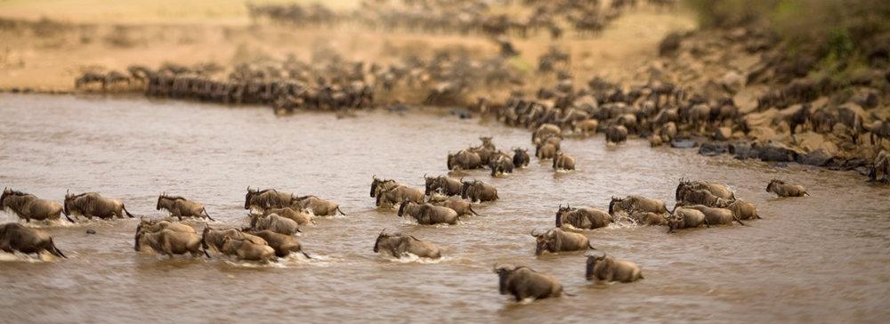 La Grande Migration des gnous 1