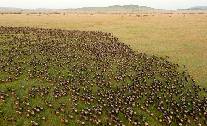 La Grande Migration des gnous 6