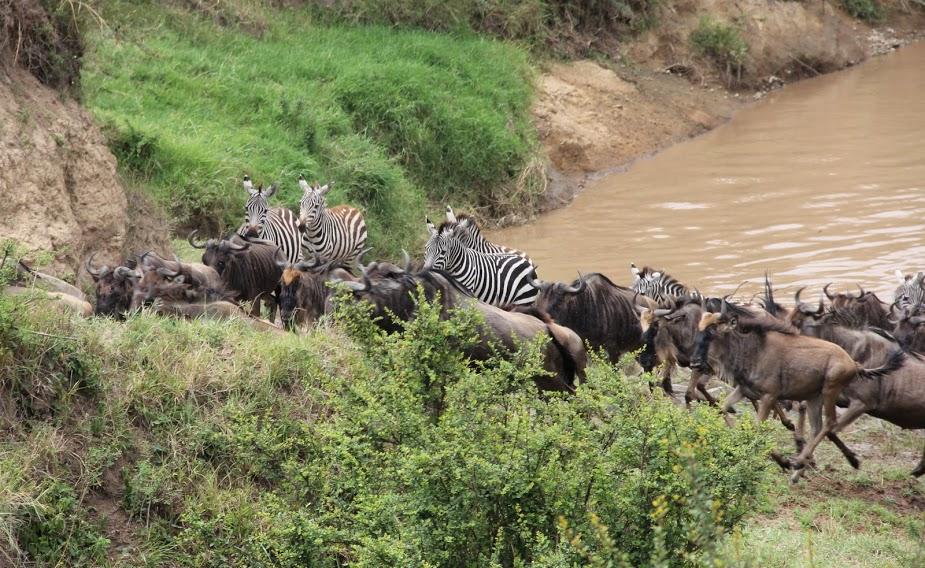 La Grande Migration des gnous 7