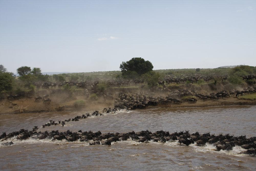 La Grande Migration des gnous 10