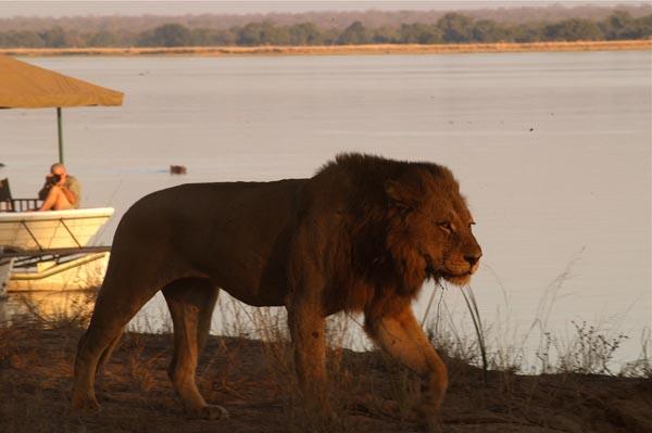 Safari Zambie et Malawi - lion à Chiawa