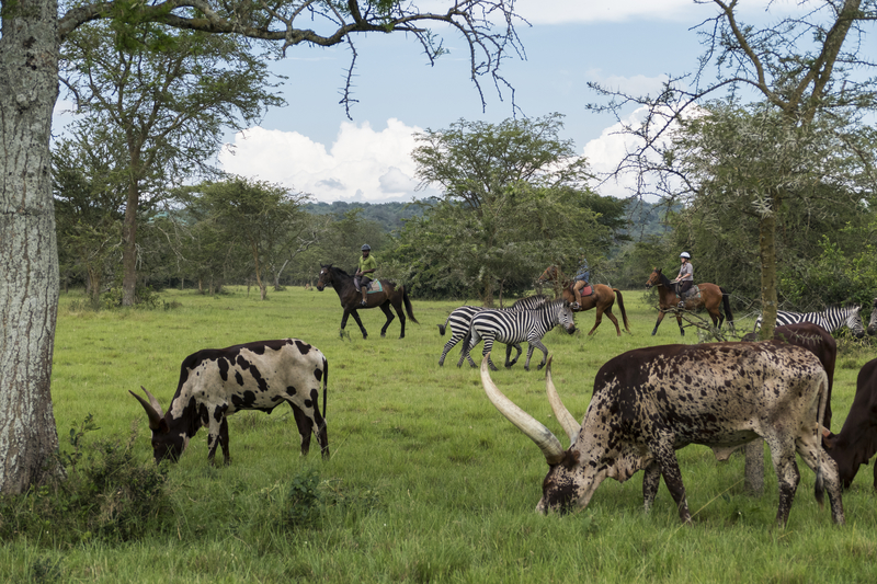 Safari à cheval en Ouganda - ballade à cheval à Mihingo