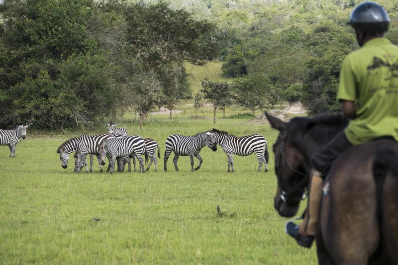 Safari à cheval en Ouganda - vue zèbres à cheval à Mihingo