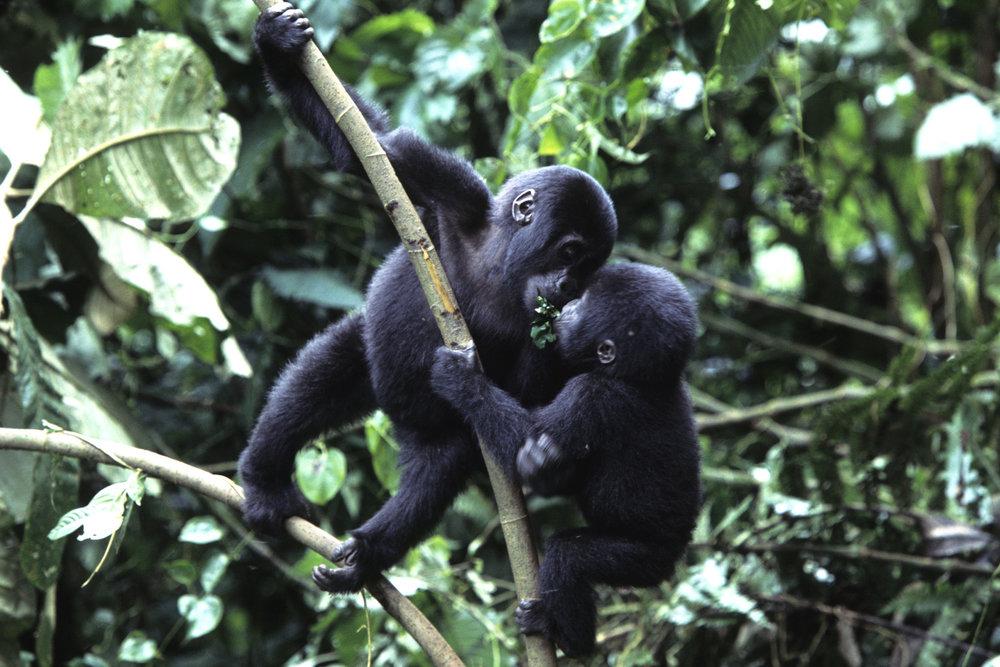Safari le Meilleur de L'ouganda - bébés gorilles