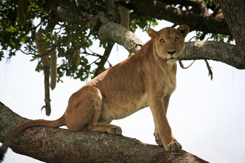 Safari le Meilleur de L'ouganda - lion à Ishasha