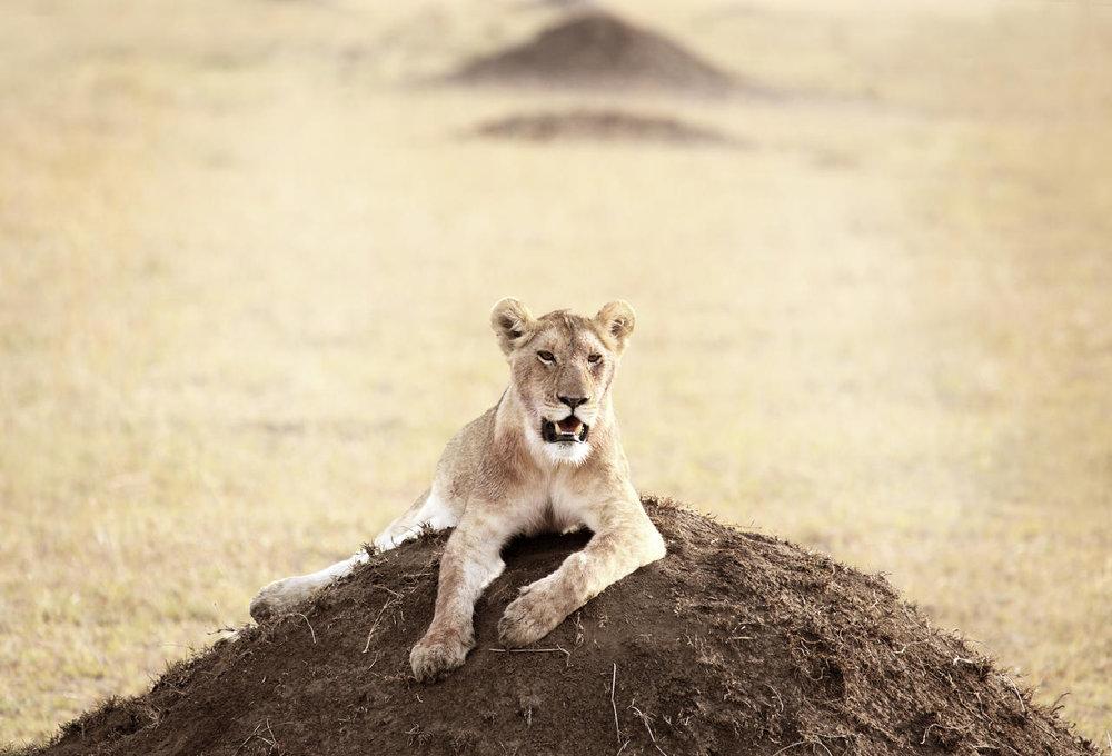Lion à Namiri Plains