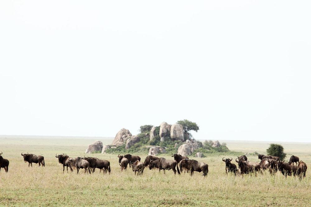 Gnous à Namiri Plains
