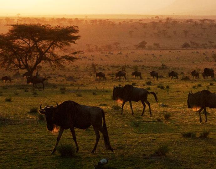Gnous au Serengeti Safari camp
