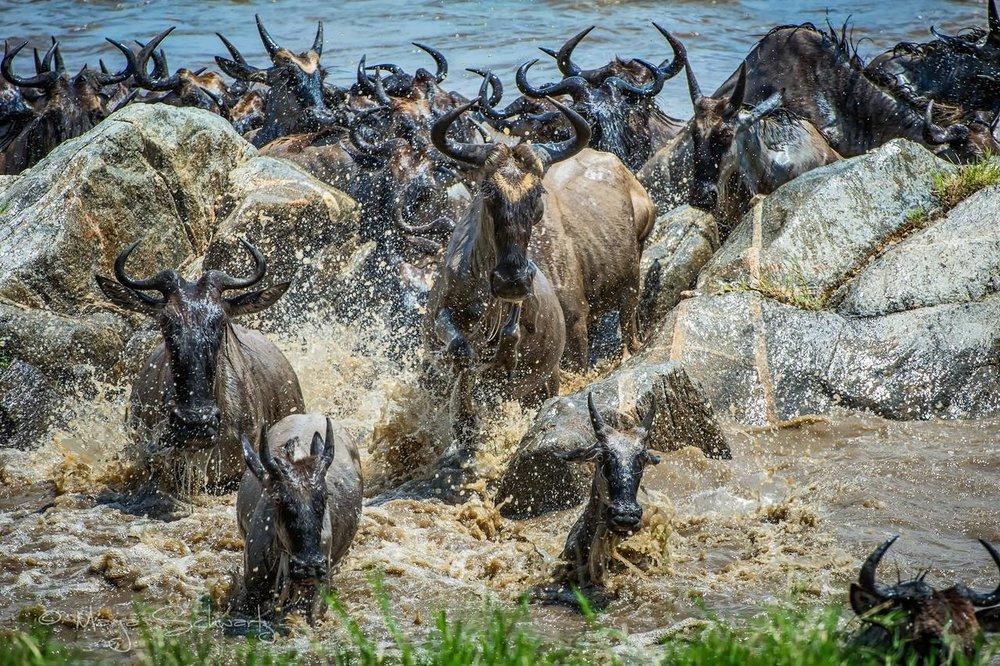 Safari 100% félins en Tanzanie - migration à Sayari