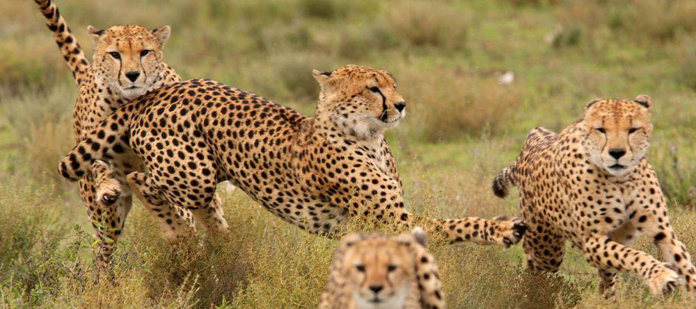 Safari 100% félins en Tanzanie - guépards qui jouent à Namiri Plains
