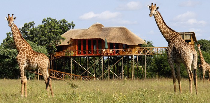 Vue avec girafes de Pezulu Tree House