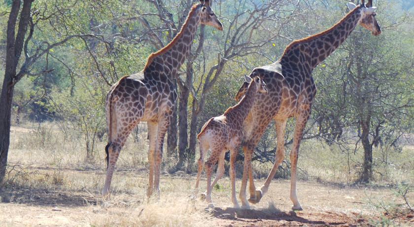 Girafes au African Rock lodge