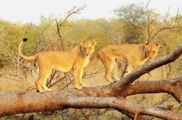 Voyage de noces réserves privées Afrique du Sud et Mozambique - lions au Kirkman's Kamp