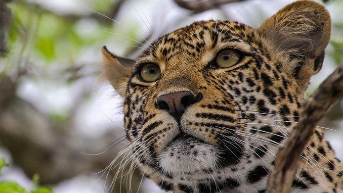 Voyage de noces réserves privées Afrique du Sud et Mozambique - léopard au Kirkman's Kamp