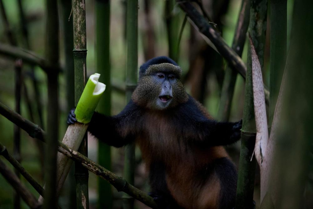 Singe dans le Parc National des Virunga