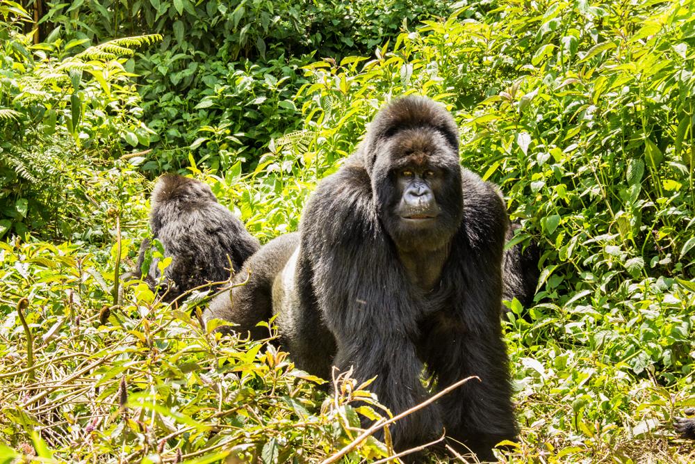 Gorille dans le Parc National des Virunga