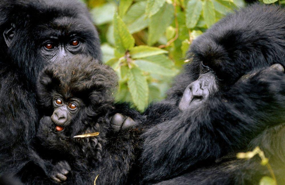 Gorilles au Rwanda