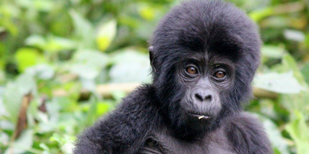 Safari gorilles et chimpanzés au rwanda - bébé gorilles au Parc National des Virunga