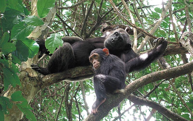 Safari gorilles et chimpanzés au rwanda - chimpanzés au Parc National de Nyungwe