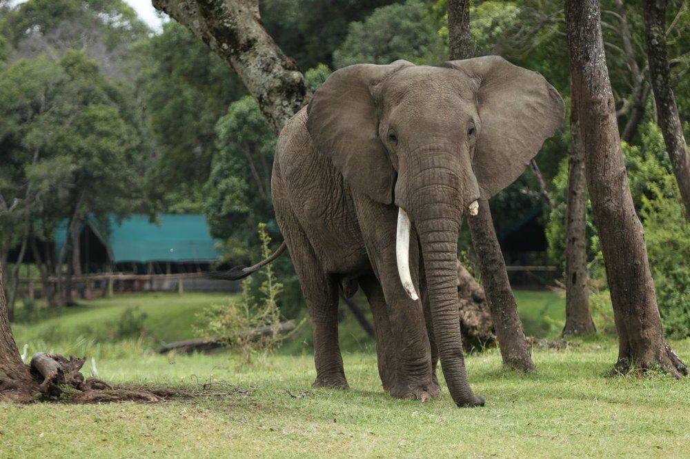 Safari Rwanda, Kenya et Seychelles - éléphant devant le Little Governor's Camp