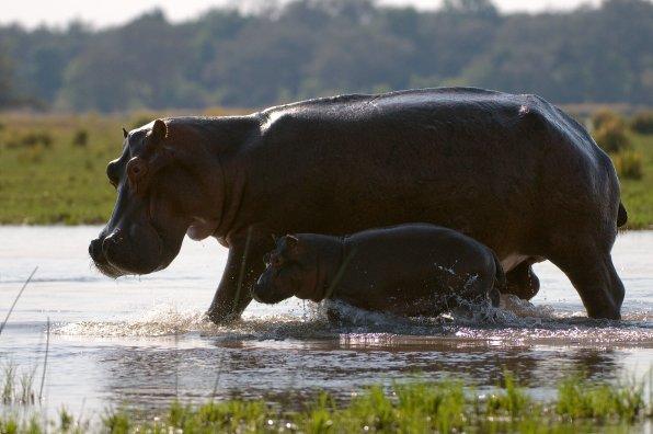 Hippos à Chongwe River House