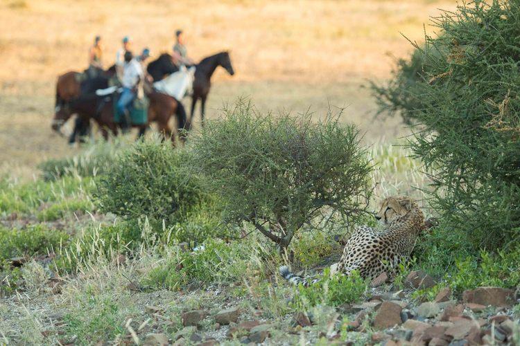 The Tuli Safari - guépard