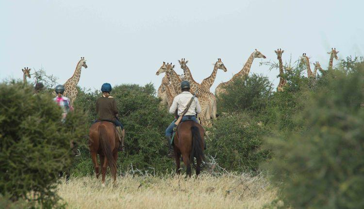 The Tuli Safari - devant des girafes