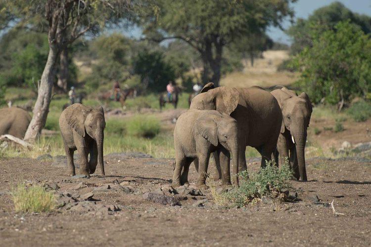 The Tuli Safari - éléphant durant le safari à cheval
