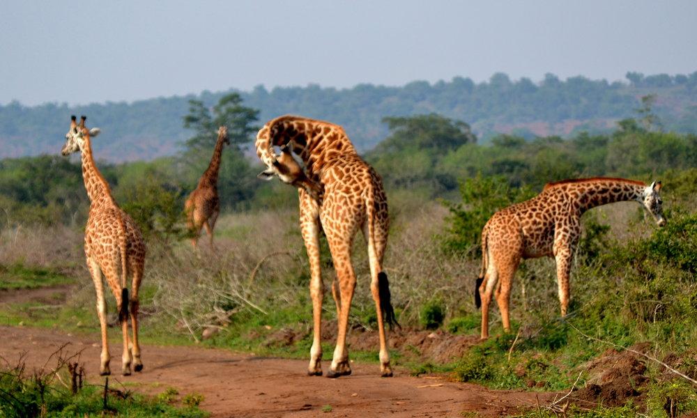 Le Parc National d'Akagera