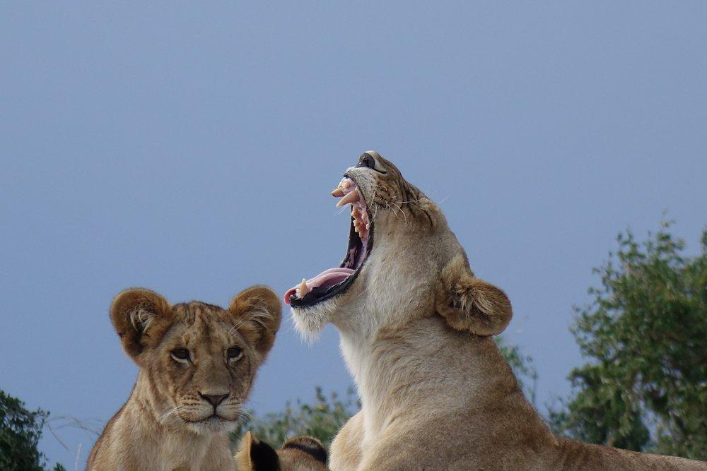 Lionne de Sabi Sand