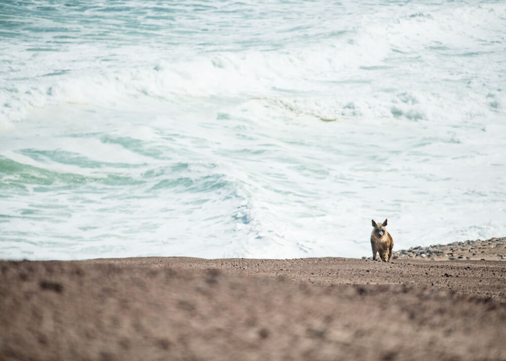 37Shipwreck-Lodge-Brown-hyena.jpg