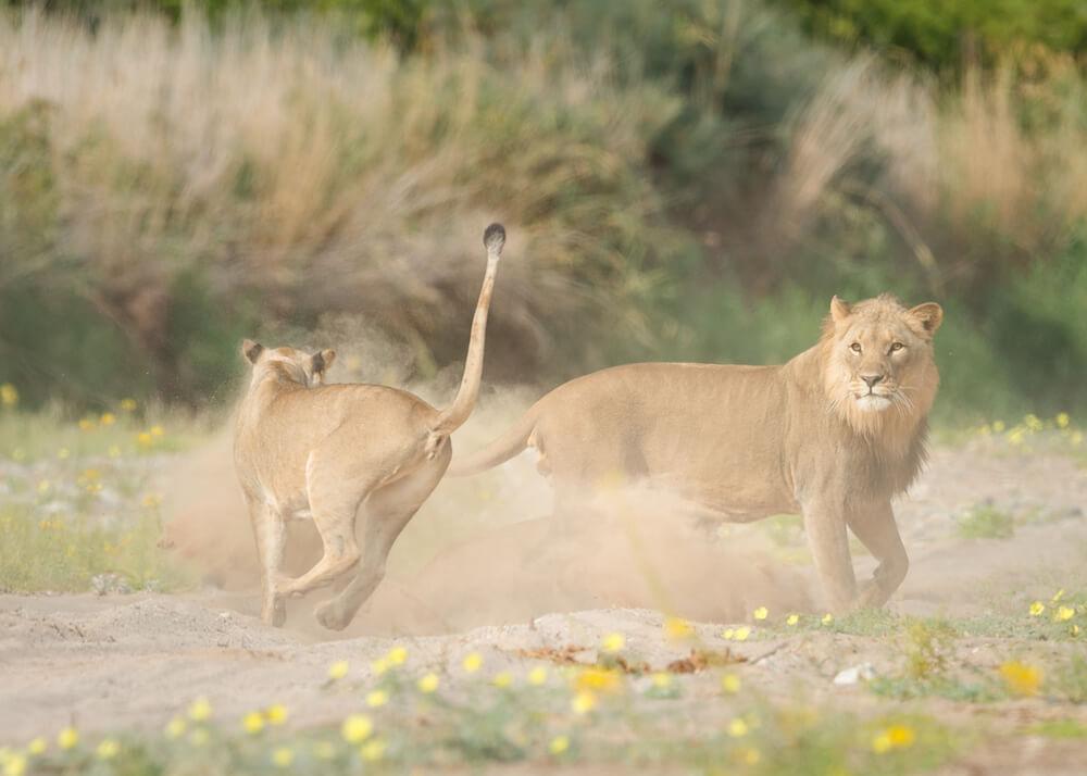26Hoanib-Valley-Lions.jpg