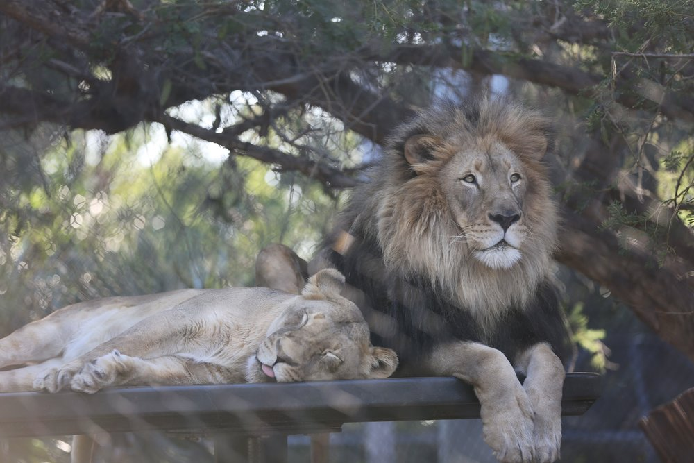 San Digo Zoo Lion