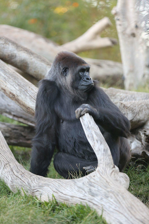 San Diego Zoo Gorilla