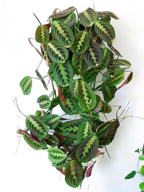Prayer Plant. - non-poisonous, beautiful leaves. You couldn't possibly ask for more.